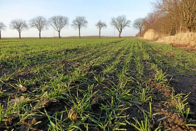 En rekordstor höstsådd av spannmål borgar för ett litet vårbruk och lägre höstvetepriser på kommande skörd.