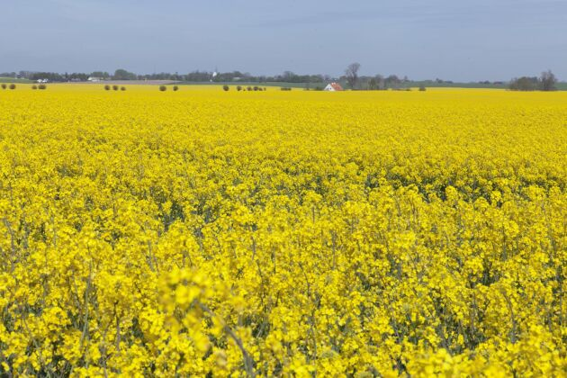 I dag odlas det raps på cirka 100000 hektar i Sverige, det skulle kunna bli 150000 hektar, menar Anneli Kihlstrand, vd för Sveriges frö- och oljeväxtodlare. Men inte ens det räcker för Preems behov.