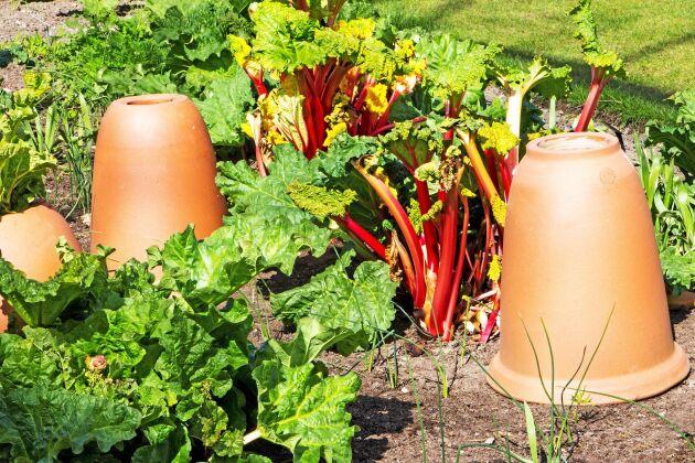 Lägg en kruka eller hink över de första knopparna på marken. Resultatet blir så kallade glasrabarber –späda och nästan genomskinligt rosa!