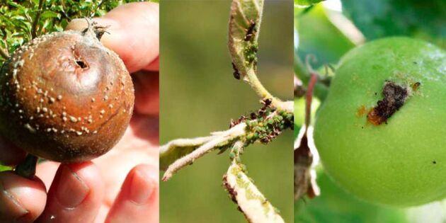 Så känner du igen de 5 vanligaste äppelsmittorna