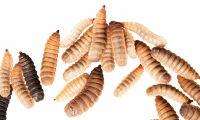 Nytt insektslabb invigt i Finland