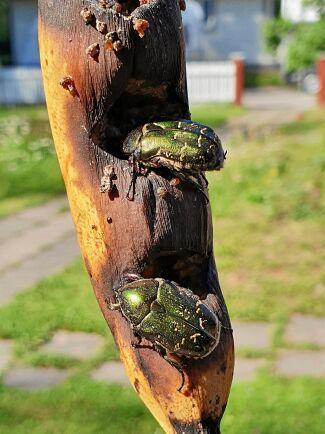 Två lyckliga gräsgröna guldbaggar på banankalas.