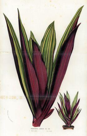 Blomstervagga kallades också Tre män i en båt och Moses i vassen. Tradescantia spathacea, på latin.