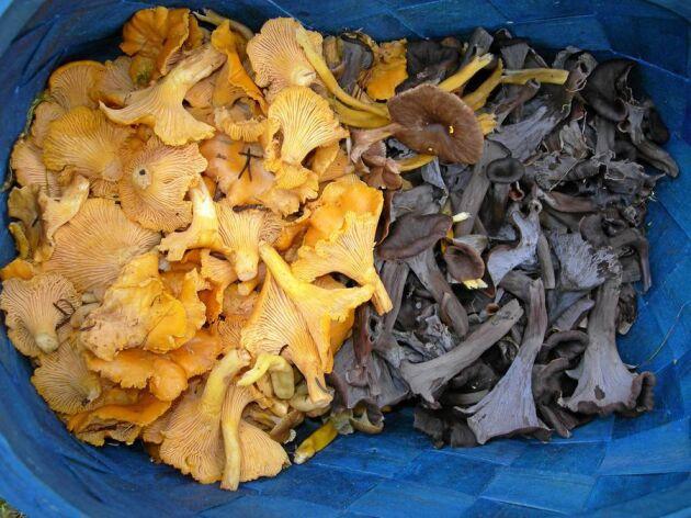 Kantarell och svart trumpetsvamp hör till de vanligaste kommersiella matsvamparna. Till i år har Wermlands Skogsförråd utökat inköpslistan med 25 nya arter.