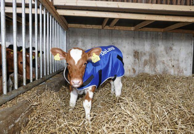 En nyfödd kalv kan behöva hjälp med att hålla värmen i kalvboxen på vintern.