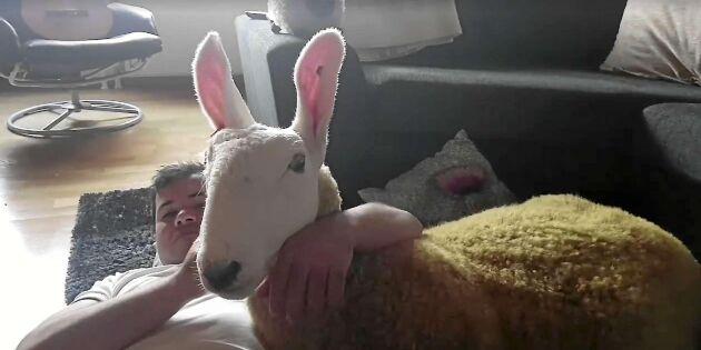 Nej, det är ingen kanin! Här är Sveriges nya älsklingsfår