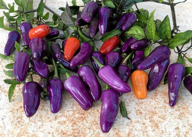 'Trinidad Purple Coffee' får massor av små, 3-4 cm, violetta frukter som övergår i rött. Styrkan är kraftig, men inte bedövande. Passar bra att torka. Trivs i kruka. Så inomhus februari-april. Ekofrö. Runåbergs fröer.