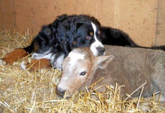 Hunden Ibsen var väldigt mån om gårdens kalvar.