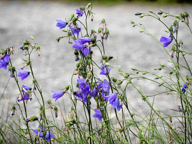 Skatt att vårda. Den lilla blåklockan kan hitta en fristad i en mager dikeskant. Foto. IBL