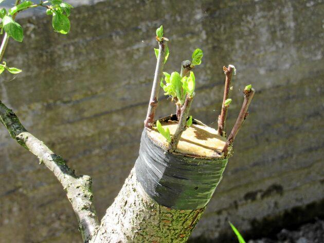 Barkympning. Här är ympkvistarna inkilade mellan bark och ved.