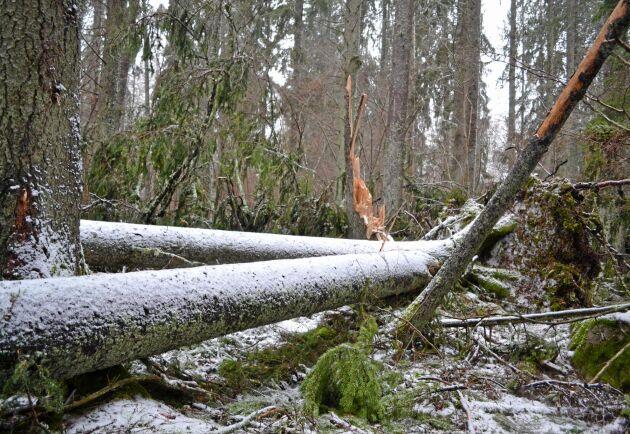 Stormen Alfrida blåste ned 1,2 miljoner kubikmeter skog i östra Mellansverige i början på året. Och fortfarande finns vindfällen kvar i terrängen. (Arkivbild)