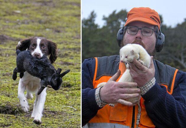 Jaktkompisar med många kaninjaktsdagar varje år är Jesper Svensson och hans King George. Springer spanieln Malva apporterar.