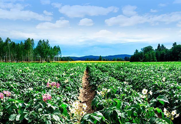 Försöken visar att biostimulering ger en betydligt bättre potatisskörd jämfört med traditionell behandling.