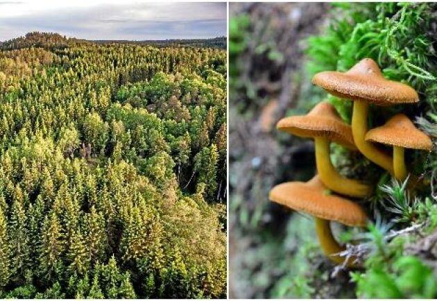 I näringsfattiga skogar kan spindelskivlingar börja bryta ned organiska ämnen för att komma åt kväveföreningar.