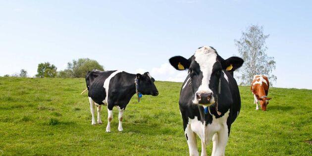 Quiz: Vad kan du om svensk mjölk?