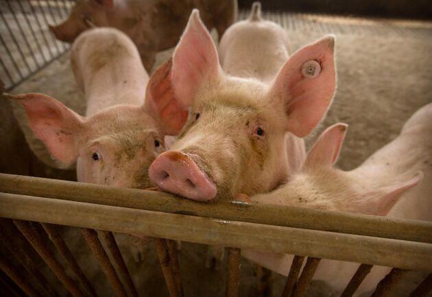 Kinesiska forskare har identifierat en ny typ av svininfluensa. På bilden grisar i Hubeiprovinsen 2019.