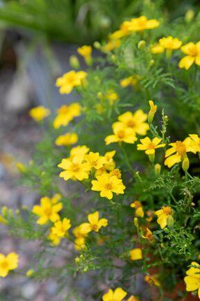 Kryddtagetesen 'Lemon Star' blommar med små citrongula blommor i det buskiga och finflikiga bladverket.