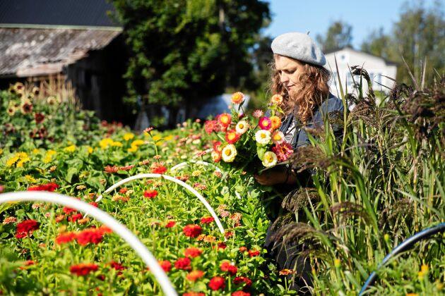 Dahliorna blommar vackert långt in på hösten och Emelye har lätt att få ihop färgglada buketter.