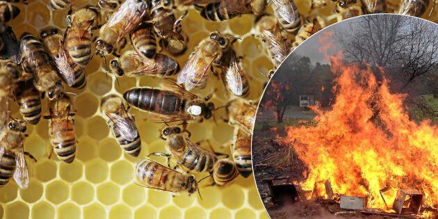 Hopp för bin: Snart kan de vaccineras mot fruktade sjukdomarna!