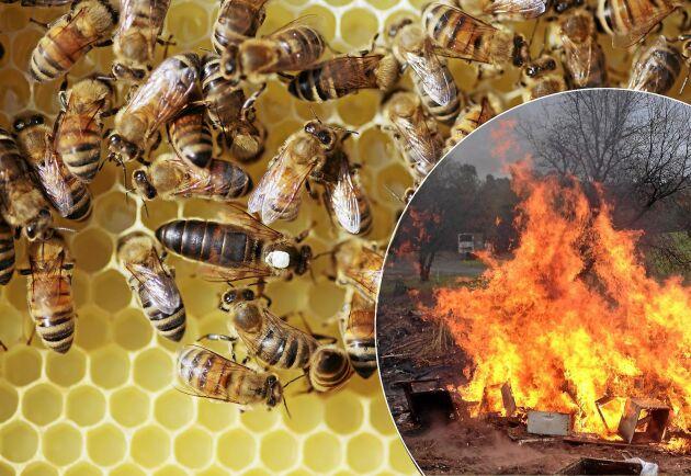 Amerikansk yngelröta drabbar hårt men nu finns hopp i form av ett nytt vaccin för bin.