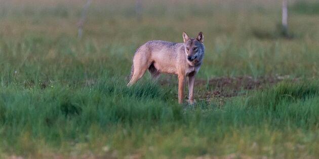 Rovdjursgift hittat hos häktad i jakthärva