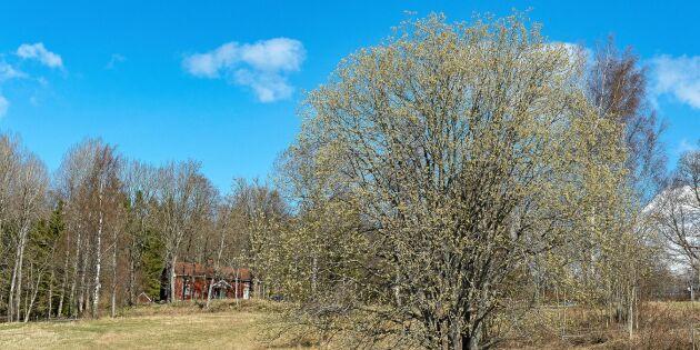Sälgen - vårens viktigaste träd