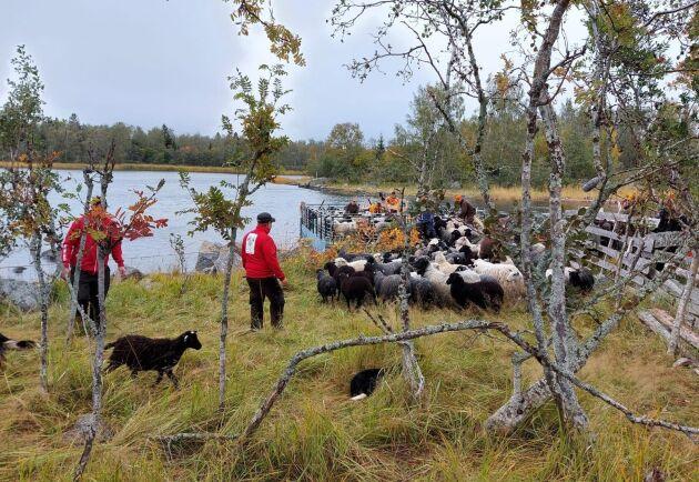 """I veckan gick frivilliga skallgång för att samla ihop fåren från betet. """"Det känns hemskt och jag är livrädd att den ska komma tillbaka"""" säger fårägaren Jonas Nord om vargattacken."""