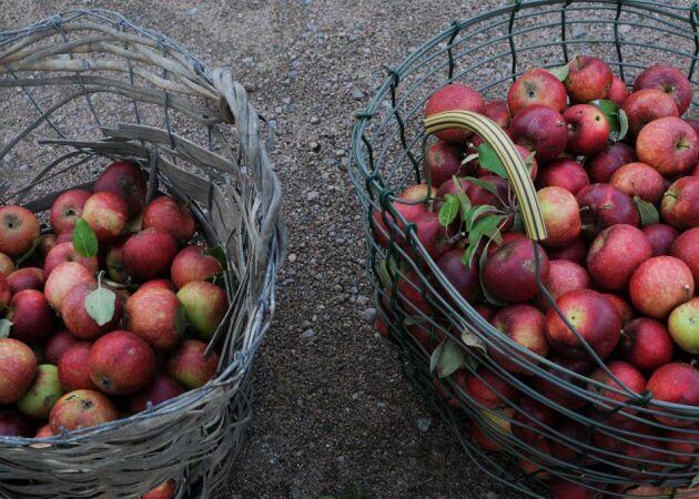 Johannas bästa tips för lagring av vinteräpplen