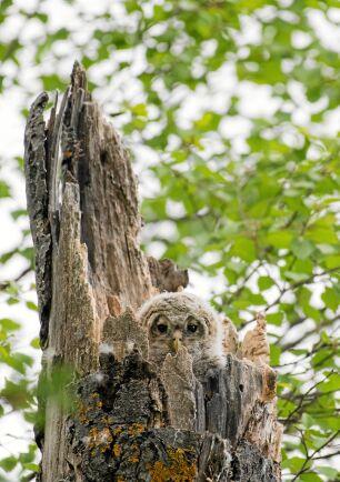 SLAGUGGLA. Den som är uppmärksam kan få se hur den gamla aspstubben får liv när ett par pigga små ögon tittar ut.