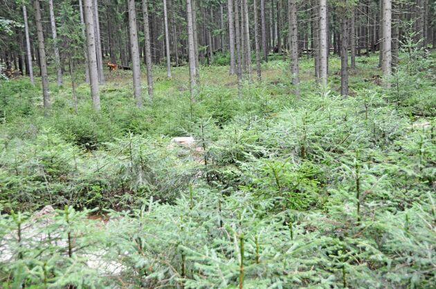 En metod att öka mångfalden: självsådd gran och planterad ädelgran. Den senare anses vara en viktig del av ett framtida mera varierade skogsbestånd.