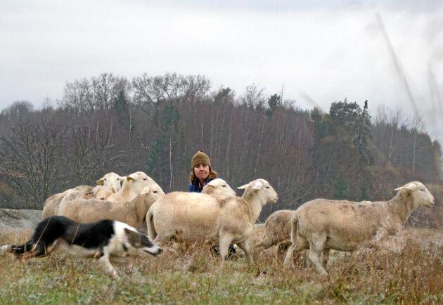 Efter exporten har Anneli Wallin 74 får kvar, varav 24 är renrasiga vita dorperfår. Vissa har fötts efter embryoöverföring, vissa är avlade naturligt.
