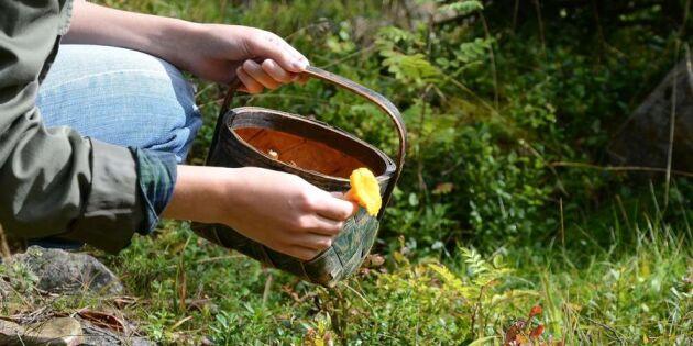 Så hittar du skogens guld – nyttiga tips inför svampplockningen
