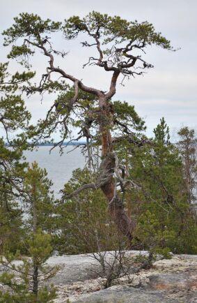 Gammeltallen i Hornslandet nära Hudiksvall ska vara Sveriges äldsta tall.