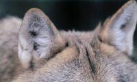 Vargar jagade kvigor