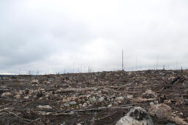 Brandområdet i Västmanland där tallplant angrips av knäckesjuka.