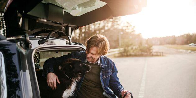Hund i bilen i sommar? Här är reglerna du måste följa