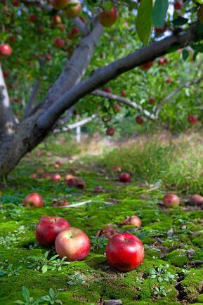 Snyggt men inte bra i längden. Plocka bort fallfrukt för trädets skull.
