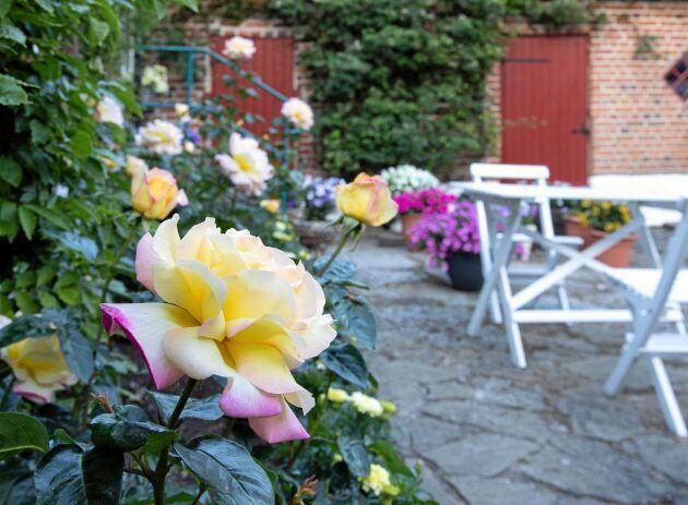 Den fantastiska rabattrosen Peace, blommar återkommande hela sommaren med mäktigt stora blommor. Här samplanterad med tagetesen 'Vanilla'.