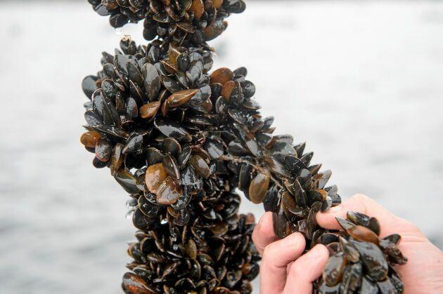 Musslor är klimatsmart och näringstät mat.