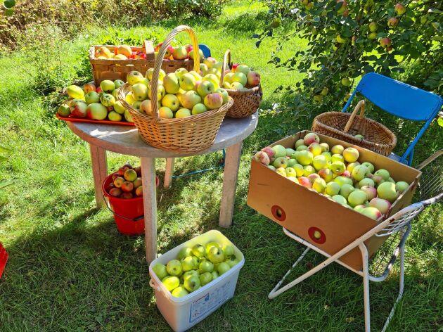 Inga äpplen får förfaras, mamma Ingrid tar till vara på hela skörden i form av äppelmos, äppeldricka, torkade äppelringar, med mera.