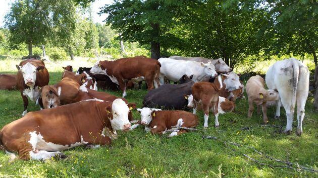Kravcertifierad nötköttsuppfödning på naturbetesmark är huvudproduktionen på Göksholms gård i Stora Mellösa utanför Örebro.