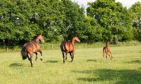 Torkan: Hästar insjuknar i fång