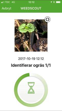 Man får krypa nära ogräset och bör undvika ovidkommande gröna växtdelar i bilden. Första gången fungerade appen jättebra, andra gången hängde sig överföringen till Bayers server på grund av dålig mobildatatäckning.