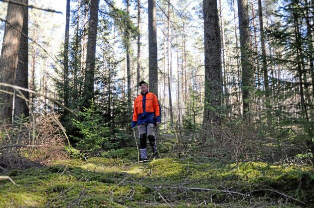 Lars Bertilsson tror att douglasgranen passar bra för kontinuitetsskogsbruk. Frostkänsligheten gör att de trivs under både hög- och lågskärm.