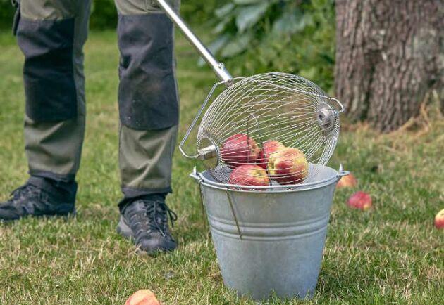 Äppelplockaren med skaft hjälper dig att samla in fallfrukt från marken.