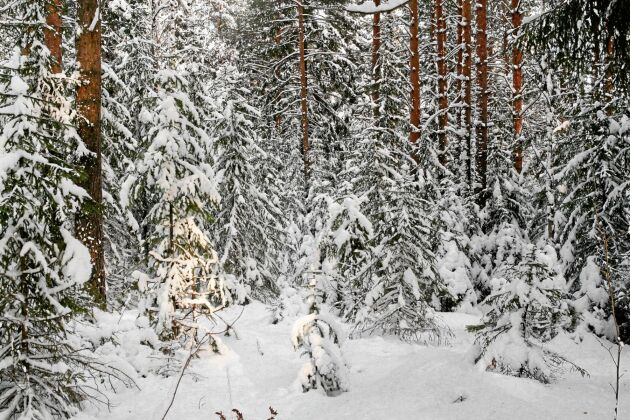 Vinterskog med snö som fastnat i trädkronorna, så kallad upplega.