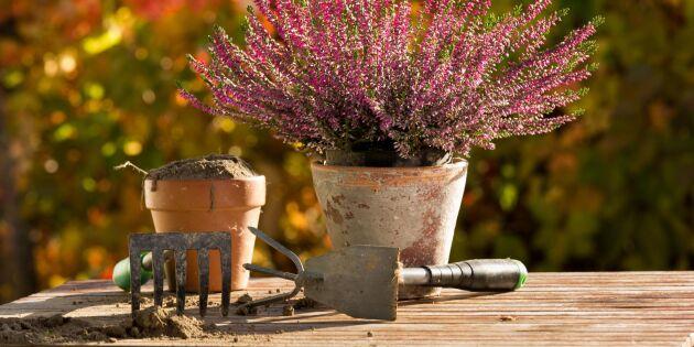 9 fina växter till höstkrukan – som tål en frostknäpp