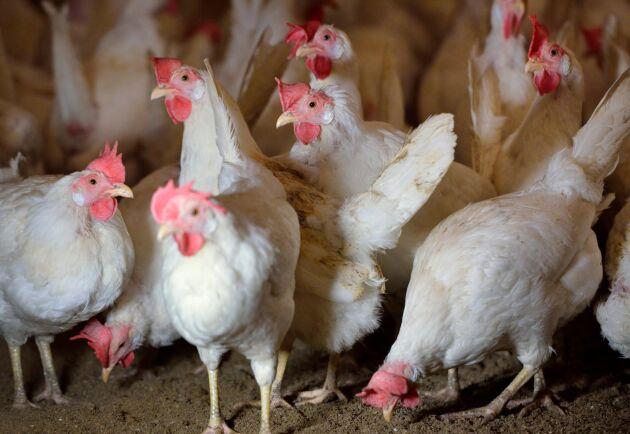 Ett släp med kycklingar välte. Arkivbild.