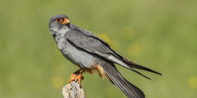 Skådarläge! Massor av sällsynta fåglar i Sverige just nu – se dem här