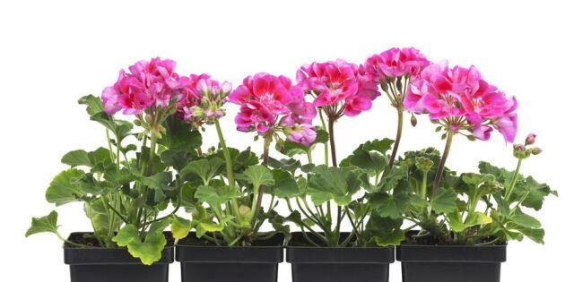 Så räddar du blommorna från semesterdöden: 6 bra tips